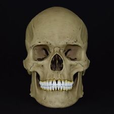 HUMAN MALE EUROPEAN ADULT SKULL REPLICA (REAL SIZE) / VINTAGE FINISH