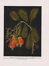 Kaschubaum (Anacardium Occidentale) Cajou, acajoubaum impression couleur de 1912