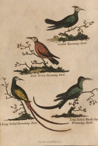 1815  Antique Hand Coloured Print : 4 Humming Birds : Crested, Long Tailed etc