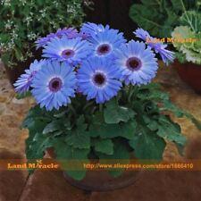 Blue Halo Gerbera Daisy 100 Seed/Pack Early Spring Fragrant Flower Bellis Perenn