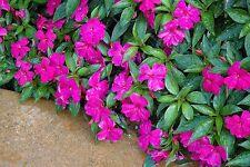 Impatiens Seeds 25 New Guinea Impatiens Divine Violet Seeds