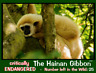 The Hianan Gibbon, an Endangered Animal Postcard by PostcardsToSaveThePlanet.