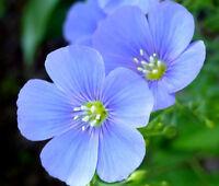 FLAX BLUE PERENNIAL Linum Perenne - 11,000 Bulk Seeds