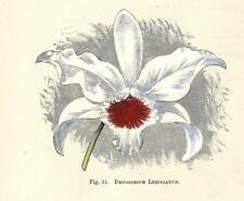 Stampa antica FIORI ORCHIDEA DENDROBIUM LEECHIANUM botanica 1896 Antique print
