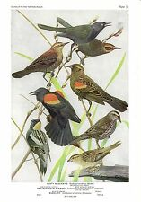 """1936 Vintage FUERTES BIRDS #73 """"RED-WINGED BLACKBIRD &"""" Color Plate Lithograph"""