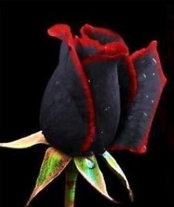 Semillas de Rosa NEGRA ROJO BLACK RED ROSE SEEDS flor color iphone sony rosal **