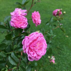 Rural England   Potted Rose  7ltr Rambling Rose Plant   Pink