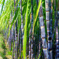 100PCs  Sugar Cane Seeds Viable Delicious Huge Succulent Giant Cane Fruit Tree🌱