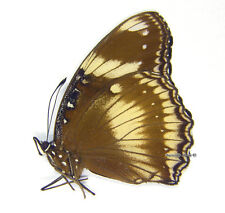Unmounted Butterfly/Nymphalidae - Hypolimnas bolina philippensis, FEMALE