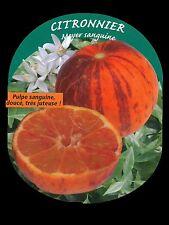 6 Mixte Rhubarbe PLUG plantes-Glaskins Victoria /& champagne