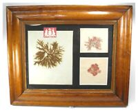 Antique Natural History specimen seaweed botanical pressings maple frame #1