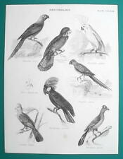 BIRDS Ornithology Ara Cockatoo Parrot Tauraco - c1835 Fine Quality Print