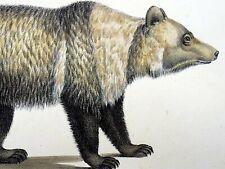 1824 Siberian Bear - K.J. Brodtmann original - hand colored lithograph