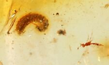Large Fossil Bug, Centipede etc. in Golden Copal Amber Colombia Visit Our Store