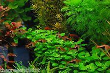 Lobelia Cardinalis | Live Aquarium Freshwater Foreground Plants Java Moss Fern