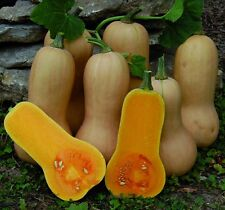 "Winter Squash ""Waltham Butternut""  A. A. S. Winner 15+ SEEDS"