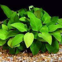 anubia nana lot de 4 pieds  8 feuilles minimum plante facile tres robuste