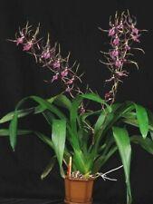 Dgmra. Pinot Princess 'Nite Naulege' Orchid Plant - 3 spikes