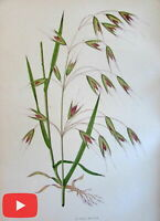 Botanical prints c.1890's nice lot x 10 color old lithographs grasses sedges