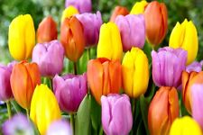 Tulip Bulbs Perennial FlowerPink Yellow Orange Mix Tequila Sunrise Hardy Bonsai