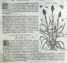 Lithospernum Phalaris Botánica Garance Matthioli Mattioli Matthiole Dioscorides