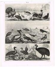 ORIGINAL ANTIQUE PRINT VINTAGE 1851 ENGRAVING NATURE BIRDS TURKEY HEN EMU