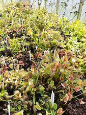 Typical Dionaea muscipula / Venus flytrap (ONE ADULT PLANT)