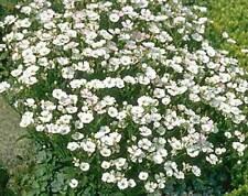 Petrorhagia / Tunica Saxifraga - 200 Seeds - Tunic Flower