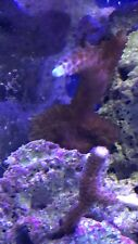 New listing live coral Large Frag wysiwyg Green Tip Staghorn Coral. 2+ Inch