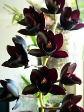 FDK After Dark 'SVO Black Pearl' FCC/AOS, orchid species