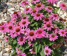 1oz=6500+PURPLE CONEFLOWER American Native Wildflower Seeds Long Life Span Bulk