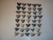 New Listing Tiger Shark Teeth Fossil Shark Tooth Bone Valley Florida Lot Of 40