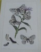 Objet scolaire planche insecte N°146 APOLLON, PETIT APOLLON