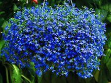 TRAILING LOBELIA BLUE SAPPHIRE - 7 000 seeds - Lobelia Pendula  BALCONY FLOWER