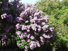 Branched Lilac Tree 1-2ft tall 2L Pot, Fragant Purple Flowers, Syringa Vulgaris