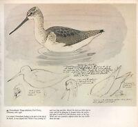 BEAUTIFUL VINTAGE BIRD PRINT ~ GREENSHANK STUDIES