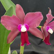New listing Blc Walden's Glen, Blooming Size Cattleya orchid, interesting hybrid
