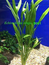 Exotic Live Aquatic Plant Echinodorus xingu Bundle B061