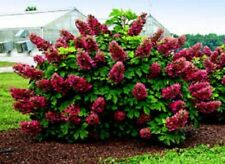 "HYDRANGEA QUERCIFOLIA 'RUBY SLIPPERS'- PLANT- APPROX 3-5 INCH - 3X4"" POT"