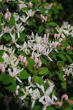 Tartarian Honeysuckle Bush    *Lonicera tartarica *  15 SEEDS!