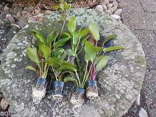 promo lot de 5 pieds echinodorus  xxl rare plante aquarium discus  paludarium