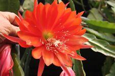 "Epiphyllum Blattkakteen Epicactus ""Wolfgang A. Mozart"" Steckling"