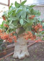 Cyphostemma Juttae * Namibian Grape * Stunning Succulent Grape * Rare 3 Seeds *