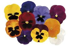 Flower - Pansy - Matrix Autumn Selection Mixed F1 - 15 Seeds