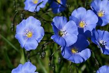 Blue Flax! 25 Seeds - BEAUTIFUL BLUE COLOR! HARDY! Comb.S/H! SEE OUR STORE!