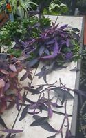 9 Cuttings Tradescantia pallida Purple Heart Plant Purple