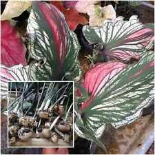 Caladium 1 Bulb Queen of the Leafy Plants ''Ruesikotanya'' Colourful Tropical