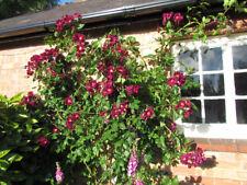 NIGHT OWL - 5.5lt Potted Climbing Garden Rose Bush - Purple & Gold Centre Blooms
