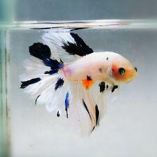 Live Betta Fish - Male - Fancy HalfMoon Betta(HFJUL88)(High-Grade)