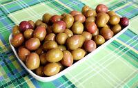 Termite di Bitetto Sweet Italian Olea Europaea Olive Seeds 5 PCS RARE VARIETY!